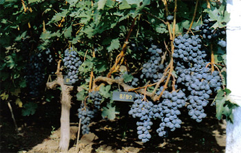 TANGRA – table seedless cultivar